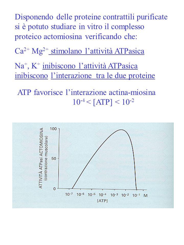 ATP favorisce l'interazione actina-miosina 10-4 < [ATP] < 10-2